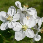 blomst_75dpi