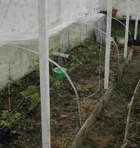 Figur 3 : Drivtelt i drivhus og en lille petroleumsvarmer fremskynder sæsonen.